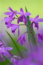 Purple bletilla flowers, blurred background iPhone wallpaper