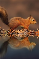 Small squirrel, reflection water, leaves, autumn iPhone wallpaper