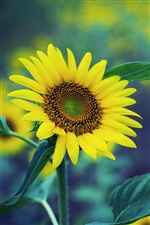 Spring sunflower, yellow flowers, green fuzzy background iPhone wallpaper