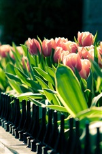 Spring tulips flower close-up, blurred photography iPhone wallpaper