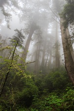 Northern California, redwood heaven, trees iPhone wallpaper