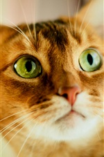 Orange cat, face, green eyes iPhone Wallpaper