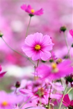 Spring blooming pink flowers iPhone Wallpaper