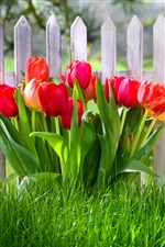 Spring flowers, red tulips, garden, grass iPhone wallpaper