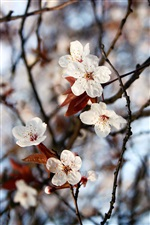 Spring, twigs, white flowers, leaves, bokeh iPhone Wallpaper