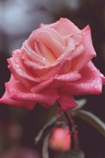 Water drops, pink roses flower iPhone wallpaper