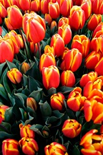 A lot flowers, orange tulips iPhone wallpaper