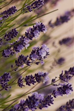 Beautiful lavender, macro, meadow iPhone wallpaper