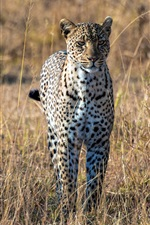 Leopard, African, savanna iPhone wallpaper