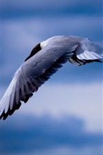 Seagull, flying, sky iPhone wallpaper