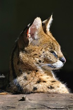 Serval, wild cat iPhone wallpaper