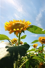 Sunflowers, flowers, blue sky iPhone wallpaper