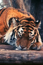 Tiger, trees, sleep iPhone wallpaper