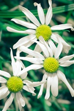 White flowers, daisies iPhone wallpaper