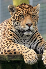 Animals close-up, jaguar, look iPhone Wallpaper