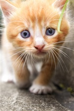 Orange kitten, face, furry iPhone wallpaper