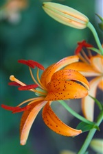 Orange lily, petals iPhone wallpaper