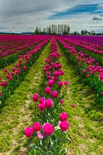 Red flowers, tulips field, sky, clouds iPhone wallpaper