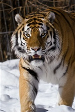Siberian tiger, winter iPhone wallpaper