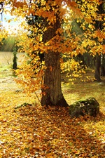 Autumn, tree, yellow leaves, sun rays iPhone wallpaper