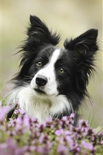 Border collie, cute dog, flowers iPhone wallpaper