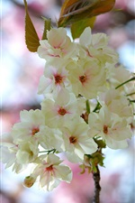 Cherry flowers, white petals, spring iPhone wallpaper