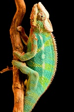 Colorful chameleon, tail, reptile iPhone wallpaper