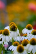 Daisy flowers, white petals, bokeh iPhone wallpaper