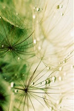Dandelion, macro, dew, water drops iPhone wallpaper