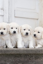 Four white puppies iPhone wallpaper