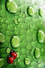 Green leaf, water drops, insects, ladybugs iPhone wallpaper