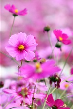 Pink flowers, petals, spring iPhone wallpaper