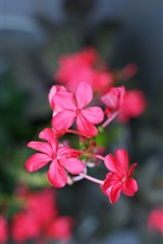 Red flowers, petals, blur background iPhone wallpaper