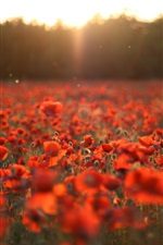 Red poppies, flowers field, sun iPhone wallpaper