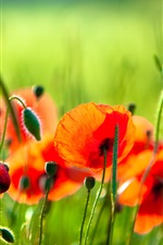 Red poppies, flowers, grass, green background iPhone wallpaper