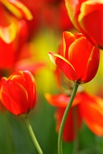 Red tulips, flowers, buds, spring iPhone wallpaper