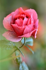 Single flower, pink rose, petals, dew, water drops iPhone wallpaper