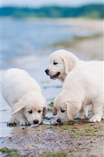 Three white puppies play on beach iPhone wallpaper