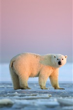 White bear, ice, Arctic national preserve, Alaska iPhone Wallpaper