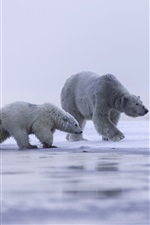 Alaska, polar bear family, ice, snow iPhone wallpaper