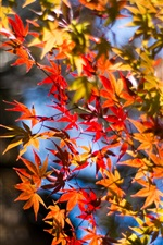 Autumn, red maple leaves, twigs iPhone wallpaper