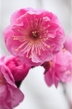 Pink flower, apricot, blurred iPhone Wallpaper