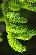 Spruce, pines, green iPhone Wallpaper