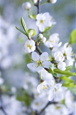 White apple flowers, petals, spring iPhone wallpaper