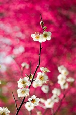 White plum flowers, twigs, pink background iPhone wallpaper