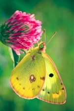 Yellow butterfly, pink flower iPhone wallpaper