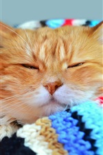Cat sleep, scarf iPhone Wallpaper