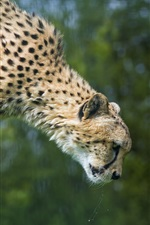 Cheetah jump iPhone Wallpaper
