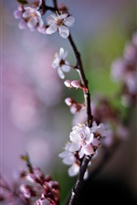 Cherry flowers, pink petals, spring iPhone wallpaper