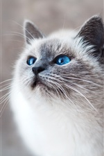 Blue eyes white cat look iPhone wallpaper